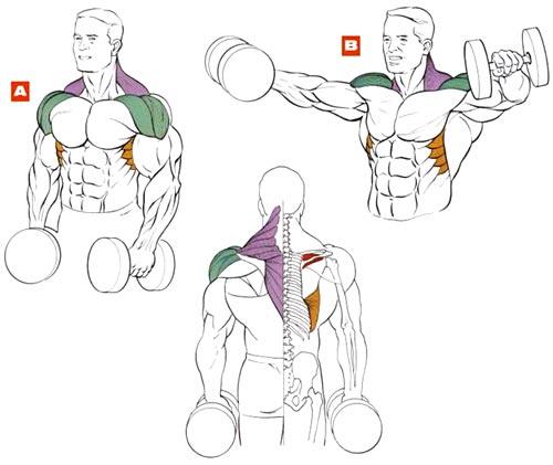 Разведение гантелей стоя мышцы плечи
