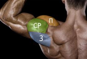 анатомия дельты