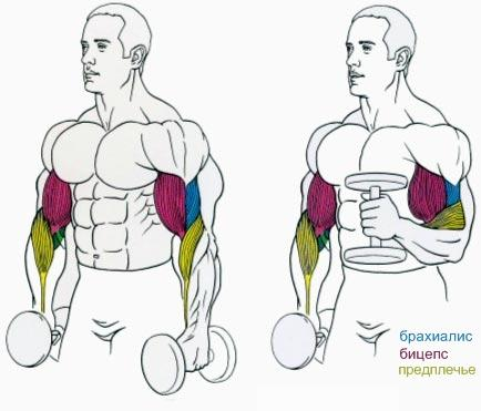 анатомия мышц руки