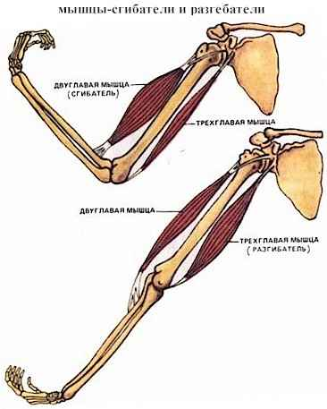 мышцы сгибатели картинка