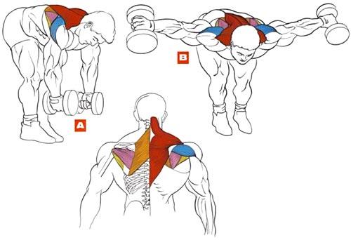Разведение гантелей В наклоне упражнение