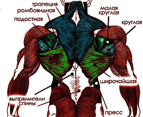 устройство мышц спины