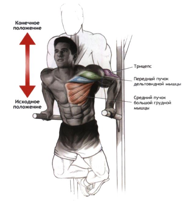 отжимания на брусях тренировка грудных мышц