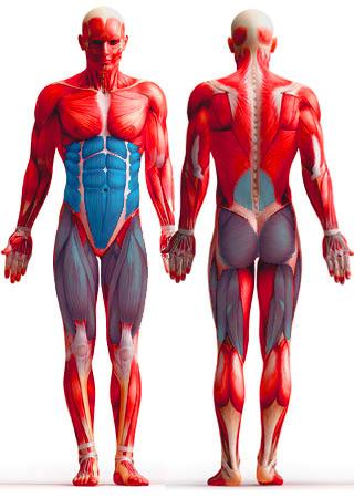 анатомия упражнения планка