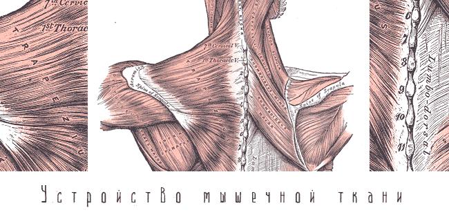 Устройство мышечной ткани посмотреть