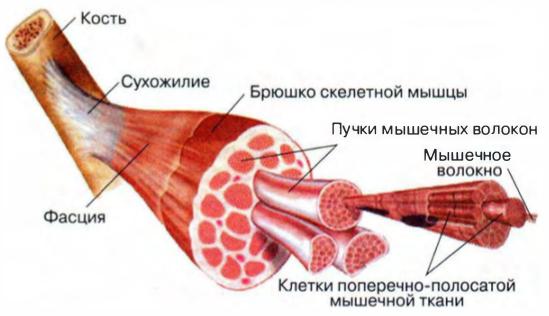 устройство мышечной ткани